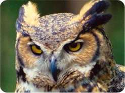 11. Quels sont les oiseaux impurs ?