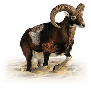 The ram represents Medo-Persia.